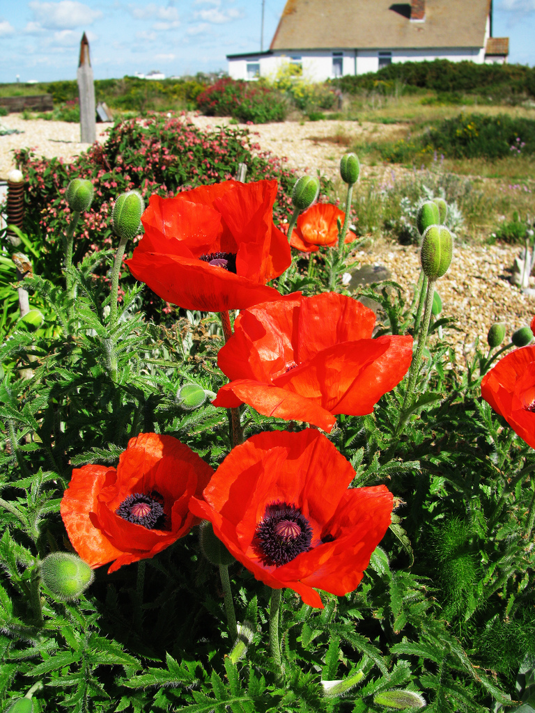 Poppies at Prospect